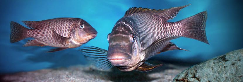 Cichlidy | Petrochromis famula Sangala
