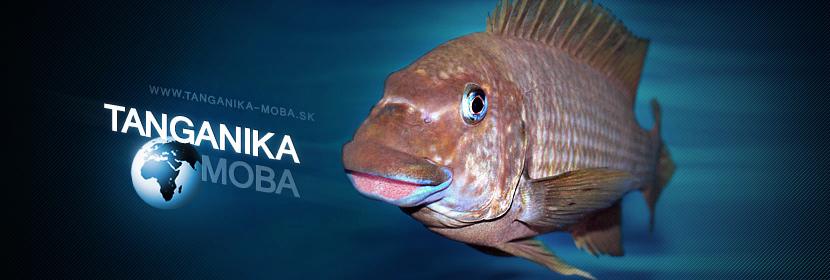Ryba | Petrochromis macrognathus Katete