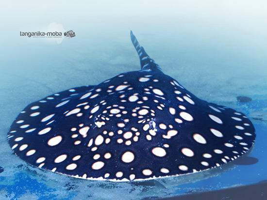 The Stingray, amazing animal