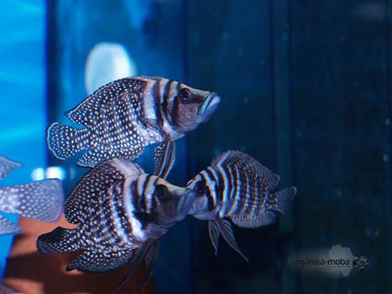 Ryby Altolamprologus Calvus Black Zaire v našich akváriách