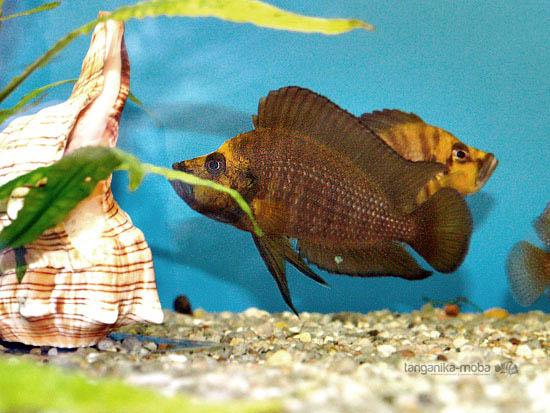 Zlato sfarbená hlava ryby compressiceps gold head