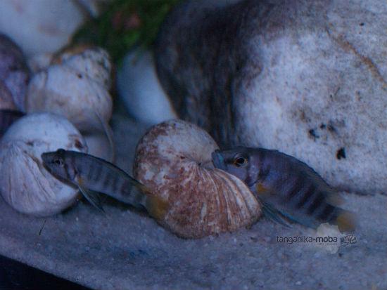 Altolamprologus compressiceps sp.Sumbu shell