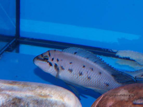 Fotografia ryby chalinochromis ndobhoi