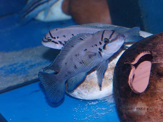 Ryba chalinochromis ndobhoi v plnej kráse
