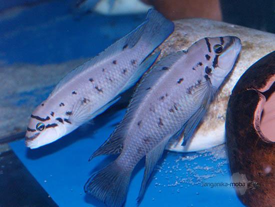 Dvojica rýb chalinochromis ndobhoi