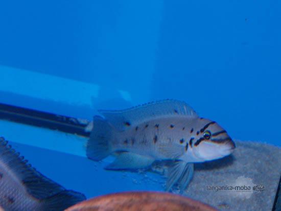 chalinochromis ndobhoi v akváriu
