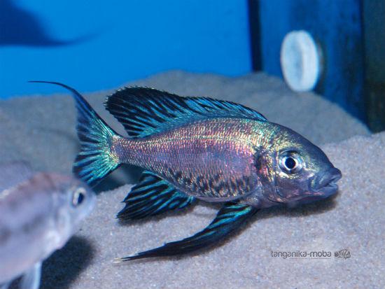 Cyathopharynx foai kabogo blue