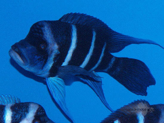 Jedna z najťažšie loviteľných rýb v jazere Tanganika - blue Zaire Moba