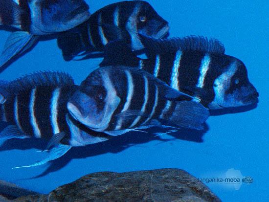 Skupinka rýb blue Zaire Moba v našej chovni