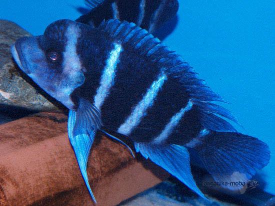Cyphotilapia Gibberosa blue Zaire Moba - kráľ jazera Tanganika