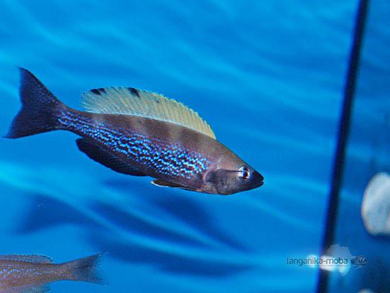 Cyprichromis microlepidotus Bemba