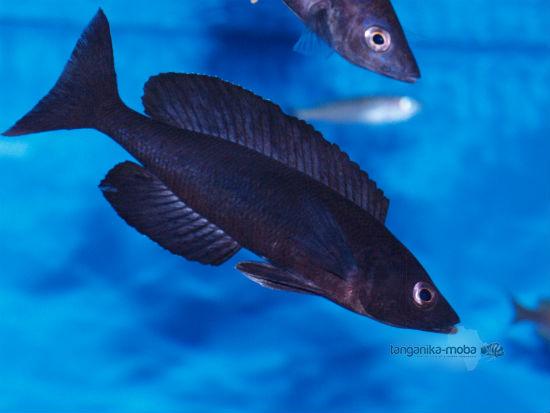 Cyprichromis microlepidotus black Kiriza