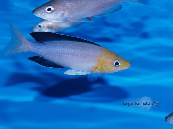 Cyprichromis leptosoma jumbo yellow head Kekese