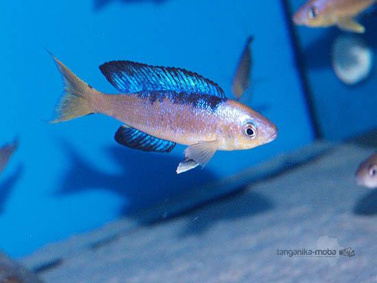 Cyprichromis microlepidotus Karilany