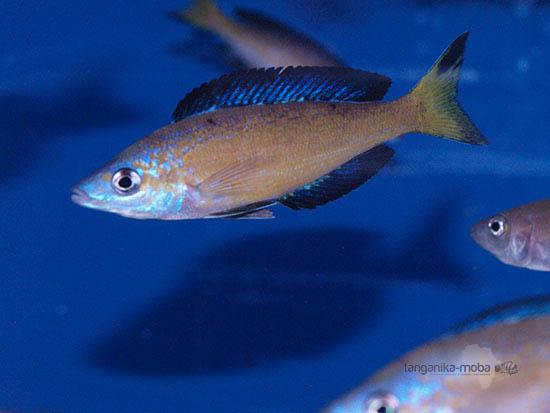 Cyprichromis microlepidotus Kasai