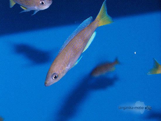 Cyprichromis pavo mouro