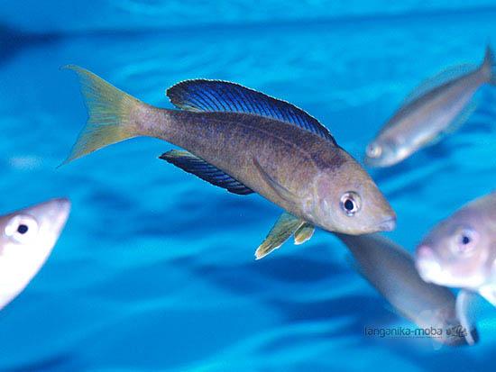 Cyprichromis microlepidotus Sibwesa