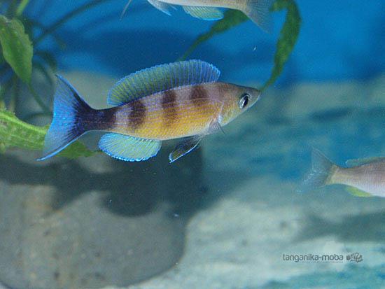 Cyprichromis zonatus v chovni