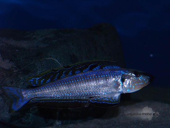 Enantiopus melanogenis Kavala