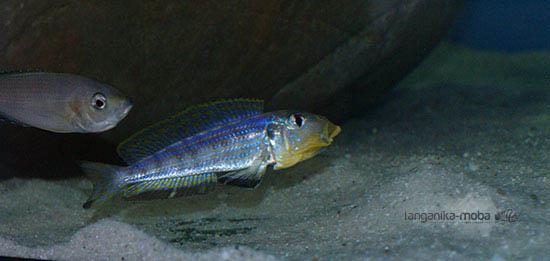 Enantiopus kilesa