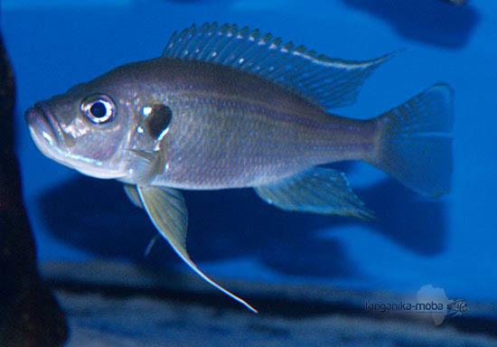 Greenwoodochromis bellcrosi