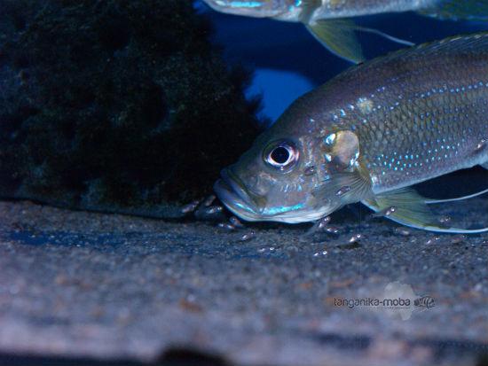 Greenwoodochromis bellcrosi  small