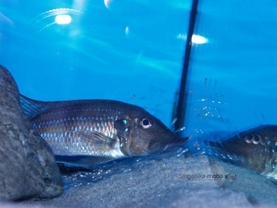 Gnathochromis permaxillaris juvenile fish