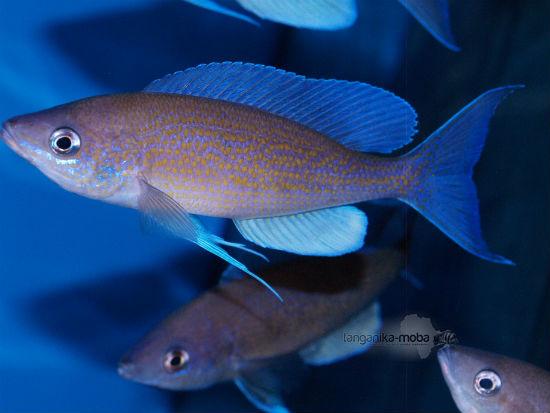 Cyprichromis pavo Moliro