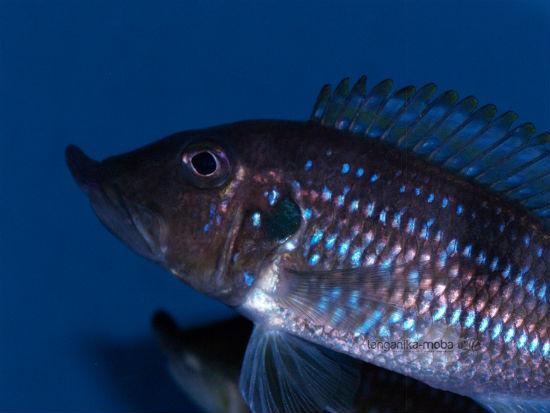 Gnathochromis permaxillaris Zambia