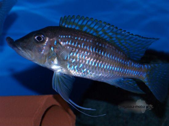 Gnathochromis permaxillaris tanganjika