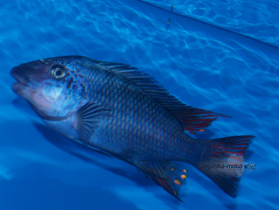 Petrochromis sp. texas Longola