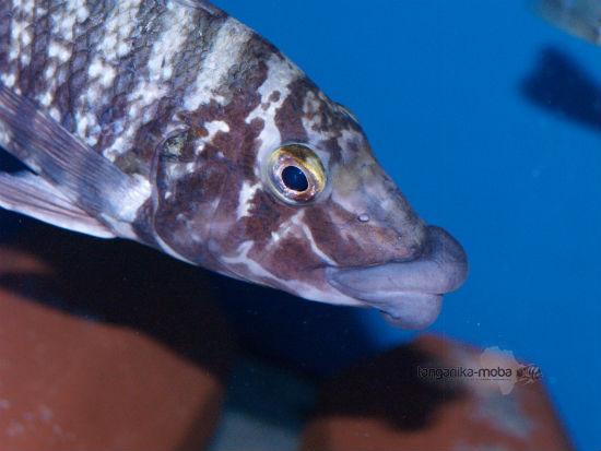 Lobochilotes Labiatus
