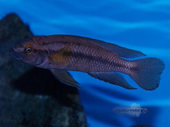 Neolamprologus bifasciatus