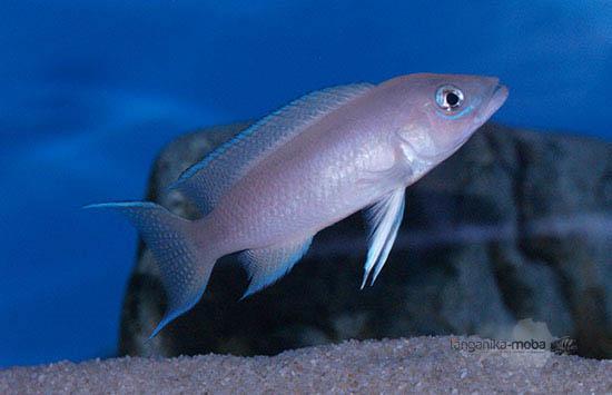 Neolamprologus longicaudatus Kavala
