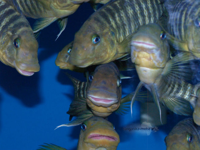 Petrochromis macrognathus Katumbi point