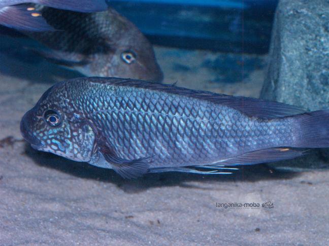 Petrochromis taxas Bulu Point samec