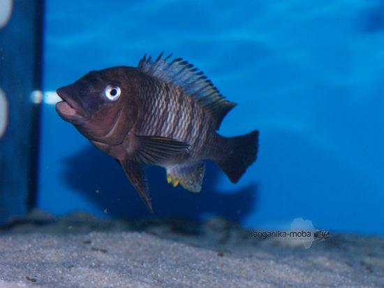Petrochromis famula Luagala