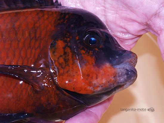Detailný pohľad na Petrochromis sp. red  Bulu point v mojich rukách