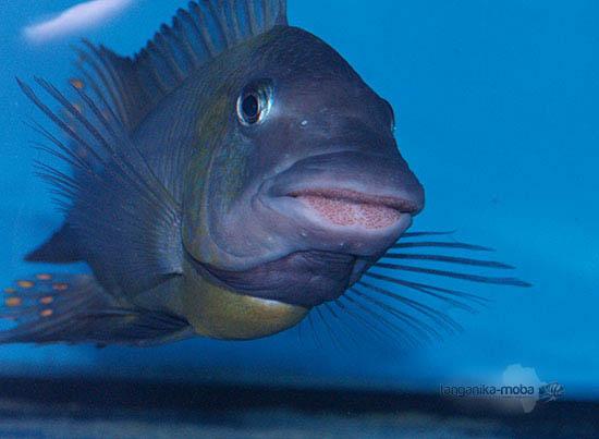 Petrochromis polyodon chinga
