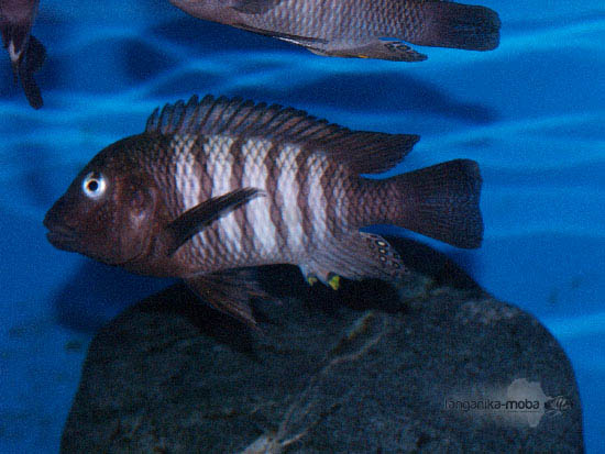 Petrochromis famula kaiser