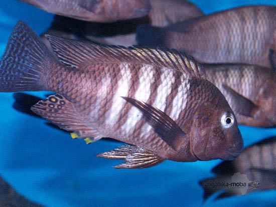 Petrochromis famula kaiser v plnej kráse