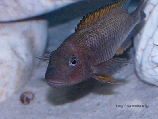 Prekrásne sfarbenie ryby famula orange fin Kigoma