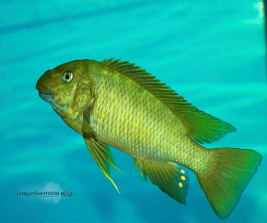 Petrochromis macrognathus Katete