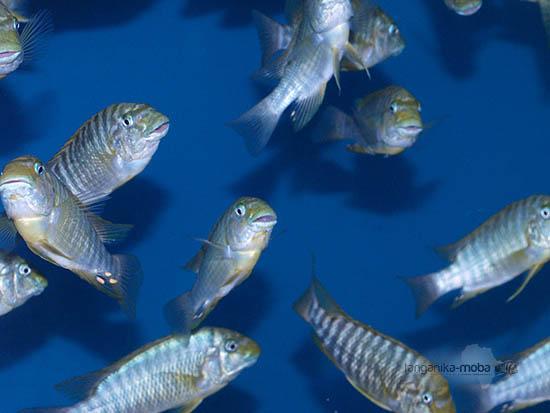 Skupinka rýb macrognathus Katete young