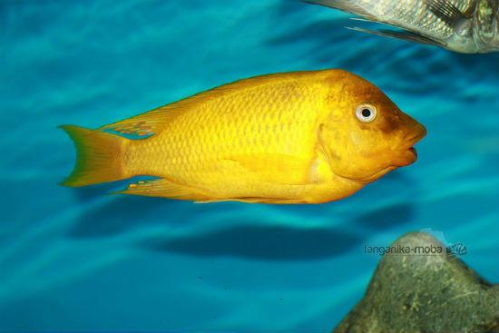 Petrochromis sp moshi