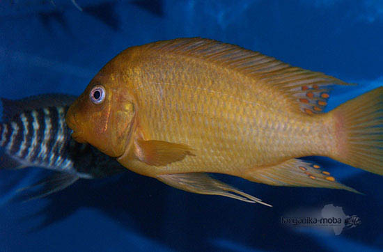 Petrochromis sp. moshi yellow