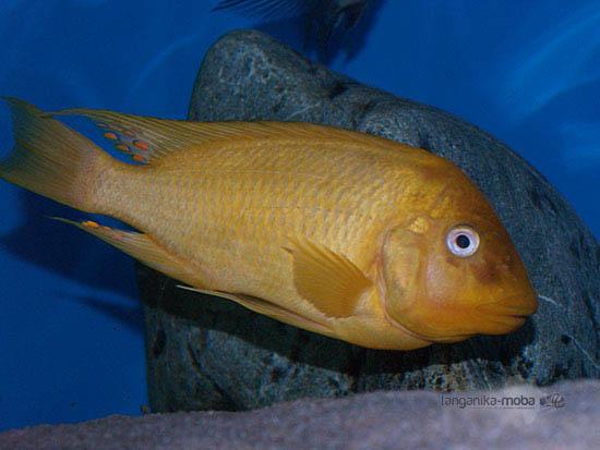 Žlté sfarbenie ryby sp. moshi yellow