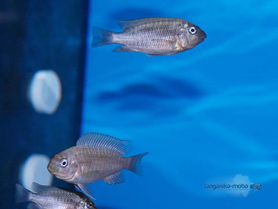 Malá ryba Petrochromis sp. moshi yellow