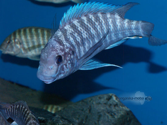 Petrochromis blue giant Fulwe Rock