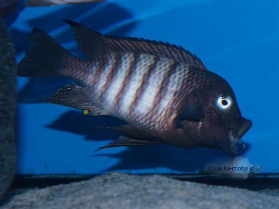 Petrochromis famula Kaiser Nkondwe